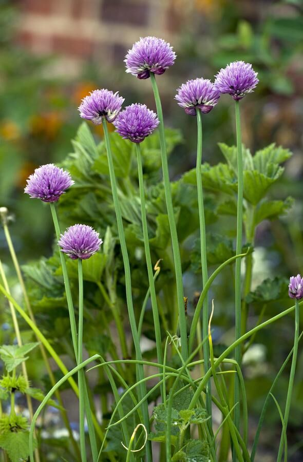 Chives - in a herb garden