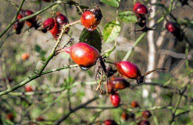 Vilda växter som nypon är mat från naturen.