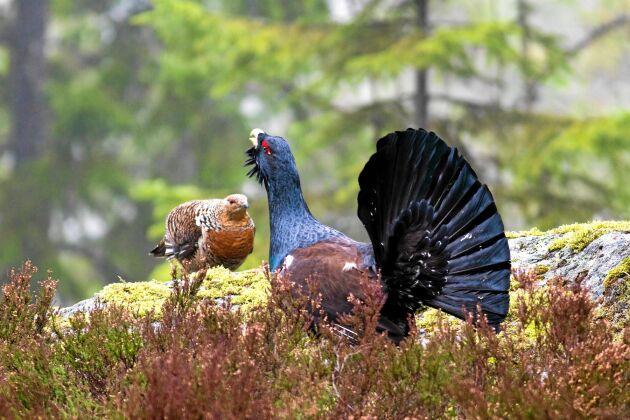 I den över 2 000 hektar stora nationalparken häckar bland annat tjäder.