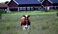 Ekologisk mjölk ökar och bönderna blir fler