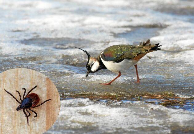 Tofsvipan letar mat bland is och snö. Fästingen väntar på att få krypa fram.