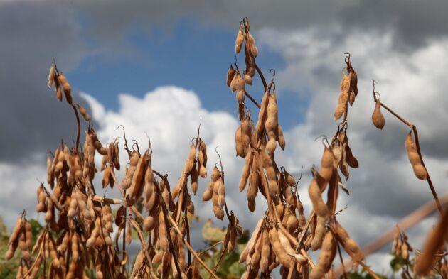 Sojabönor är USA:s största jordbruksexport till Kina.