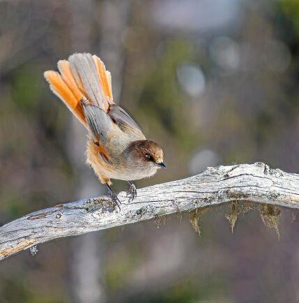Lavskrikan har sedan 2015 klassats som livskraftig. Två år innan Anders Göransson anmälde att han ville avverka ett skifte på 10 hektar i ett område där det gjorts observationer av den tidigare rödlistade kråkfågeln.