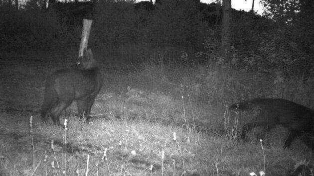 Länsstyrelsens bilder visar att några av varghybriderna är ovanligt mörka. Det djur som fälldes i helgen var normalfärgat.