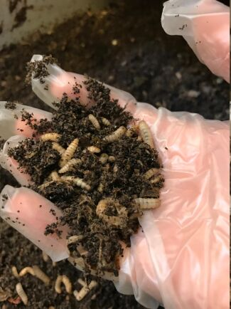 Larverna är här en vecka gamla. Efter 12-14 dagar har de matats tre gånger och är redo att silas bort från det komposterade matavfallet. I en nära framtid ska larverna ges till fiskodlingar och till hönsbesättningar i avgränsade forskningsförsök.