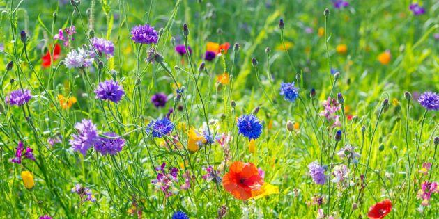 Från gräsmatta till sommaräng – så gör du i 5 steg