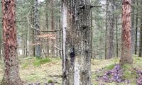 Ökande skogsskador efter extremväder