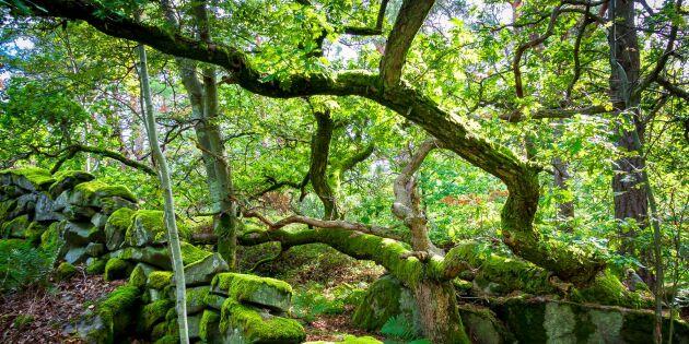 "Greenpeace uppmanar SCA: ""Sluta avverka naturskog"""