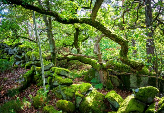 Områden med särskilt höga bevarandevärden går förlorade om SCA fortsätter avverka naturskog, enligt Lina Burnelius, ansvarig för skogs- och bioekonomiska frågor på Greenpeace i Sverige.