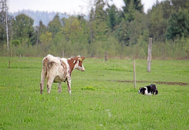 Vallhund används på Sörby sedan Henrik Karlsson började jobba heltid på gården. Även en mindre fårbesättning har införskaffats.
