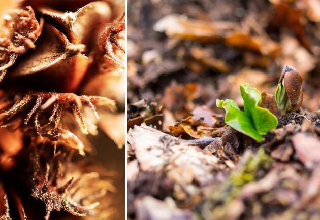 I Skåne går det knappt att se bladen för alla ollon som nu växer på bokträden. Arkivbild.