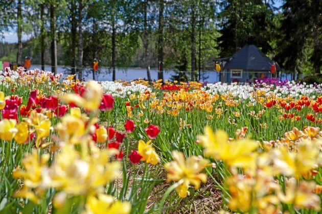 Blomsterhav! De vidsträckta odlingarna på gården är en mäktig och färggrann syn.
