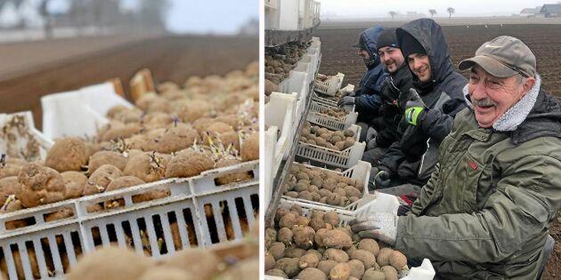 Första potatisen i jorden