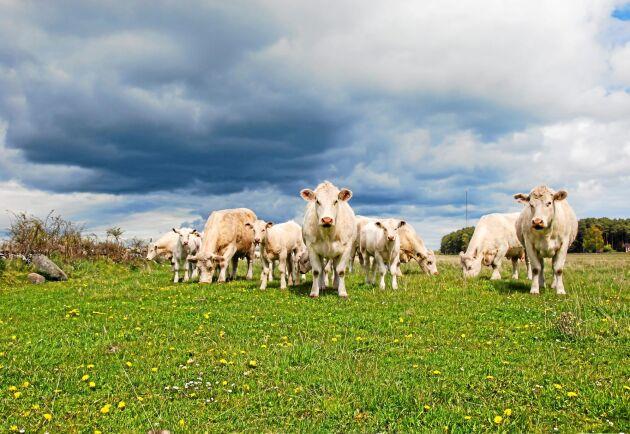 Köttproducent med pengar över? ATL tipsar om hur du kan investera.