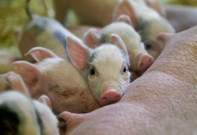 Svenska gris- och nötköttspriser har stigit under året och ligger nu klart över EU-snittet.