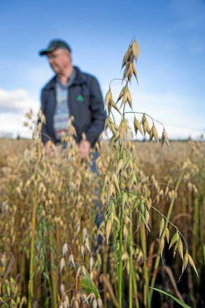 Intresset för spannmålsodling ökar i Västerbotten och Lantmännens initiativ att förse med lokalt producerad säd har slagit väl ut.