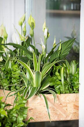 Fredslilja, ampellilja och fågelbobräken älskar fukt. I en blomlåda med grus i botten trivs de.
