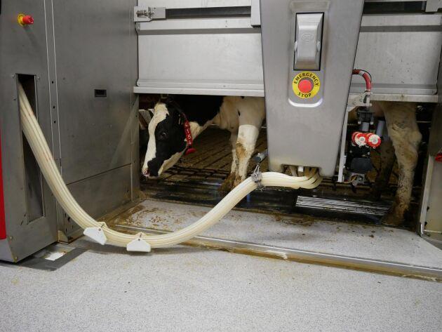 Gården valde Lely Astronaut A4. Innan omställningen tog mjölkningen 18 timmar per dygn på drygt 800 kor.