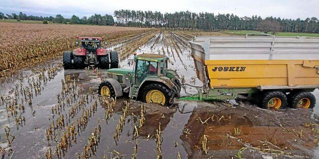 Här skördas majs i sjöblöt åker