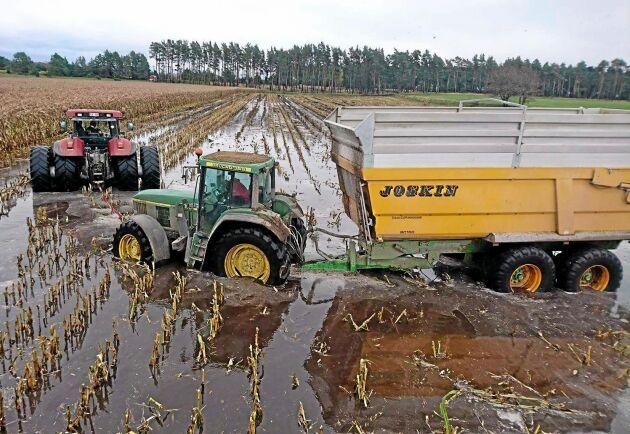Mer som ett risfält än ett majsfält. Det hade regnat ymnigt, men mer nederbörd var på väg, så man skördade ändå.