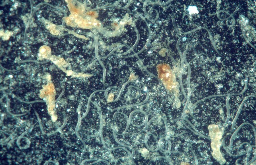 Känliga tittare varnas. Här syns nematoderna mitt i striden mot sorgmyggans larver. Foto. IBL