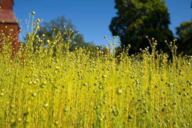 Linne ör ett av de miljövänligaste material vi har just nu. Förr odlades det i Sverige men idag finns det nästan ingen produktion.