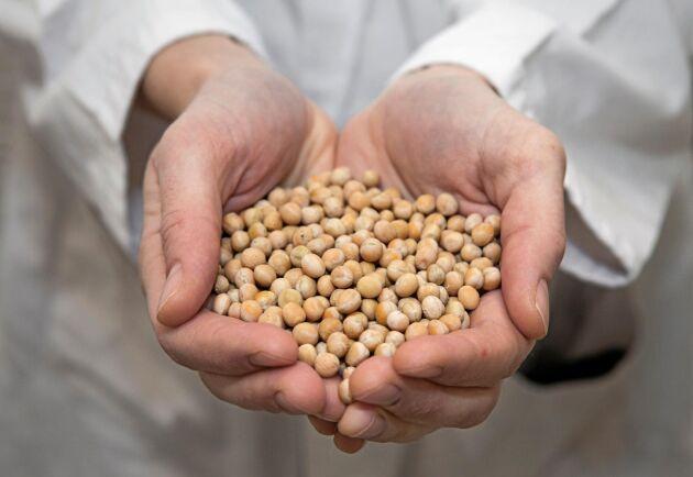 Gula ärtor är basen i Bärtas vegetariska produkter.