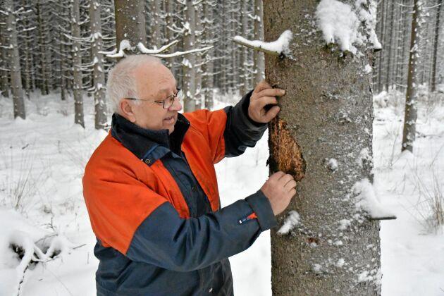 Här hittar Sören Pettersson ett angripet träd med granbarkborrens gångar under den delvis avfallna barken.