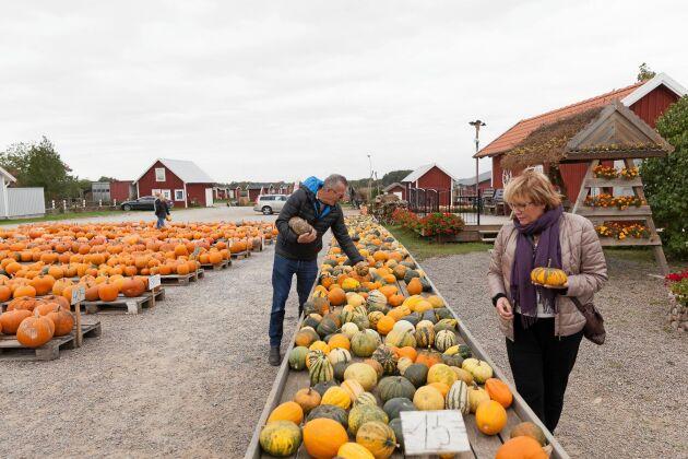 Pumpashopping vid Robertssons i Björnhodva är ett av många populära stopp under Ölands Skördefest.