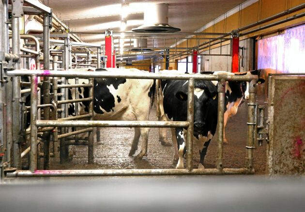 Gården har kor i kalla lösdrifter, och blir det för många minusgrader har de plastdraperier som fälls ner till ingången till robottorgen.