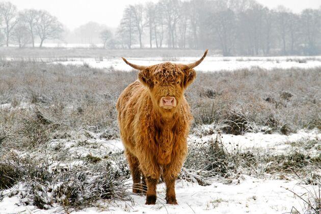 Lurvig rymling. En Highland cattleko har varit på rymmen i en och en halv månad i området kring Bro och Kungsängen.
