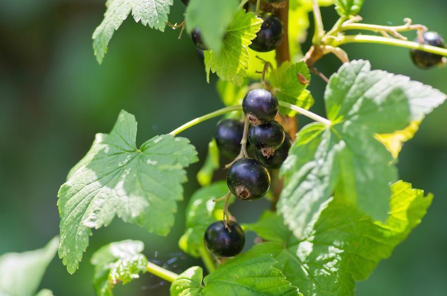 Land.se skriver om svartvinbärsté