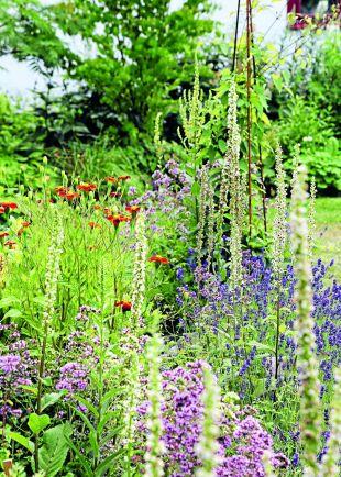 Plantera en insektsbuffé med nektarrika växter runt odlingen. Här blommar kungsmynta, lavendel, kungsljus och sammetstagetes, som ibland kallas för linnétagetes.
