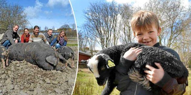 Smart idé: Familjerna på Björkö äger djuren tillsammans