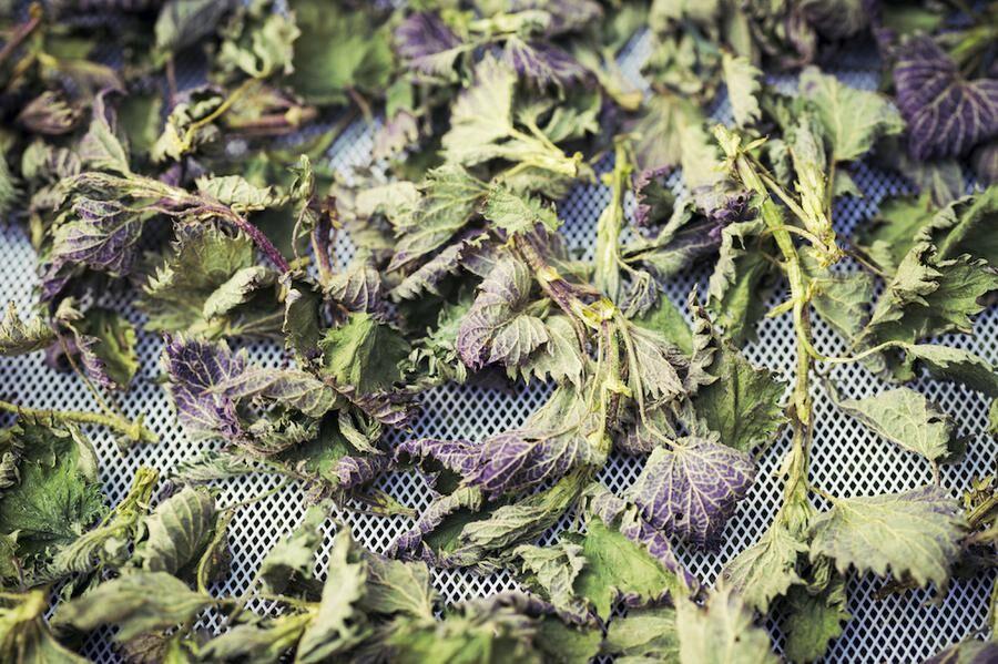 Dried organic nettle leaves, alternative medicine concept