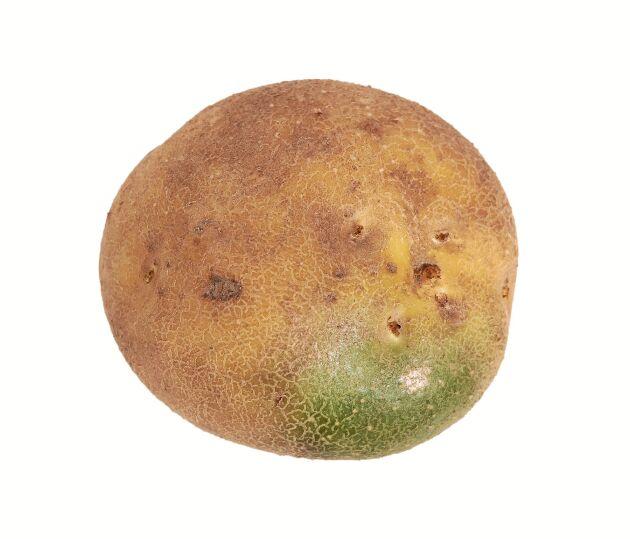 Är potatisen bara lite grön kan man skära bort det gröna - men med god marginal.