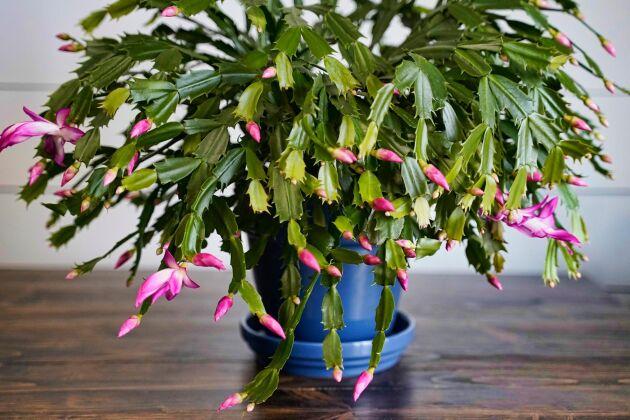 Novemberkaktus med friskt grön stam och utslagna blommor plus knoppar.
