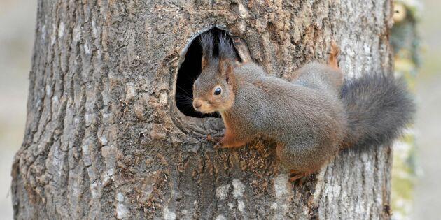Nej – ekorren är faktiskt ingen äggtjuv!