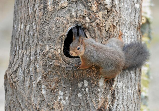 Ekorren kan välja boplats som även fåglar använt. Men det betyder inte att ekorren äter fåglar och ägg.
