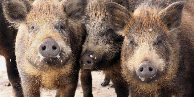 Svenska svin invaderar Norge