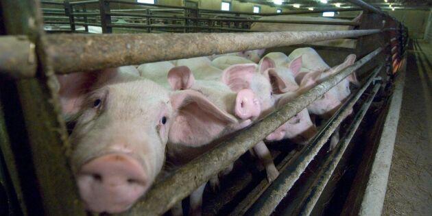 Torkstödet försenat till grisuppfödare