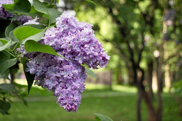 Försommarens vackraste buske. Kort men underbar blomning.