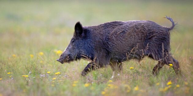 Larm om afrikansk svinpest: Kan få grisnäringen på fall
