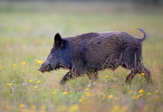 EU:s regionkommitté vill bland annat engagera jägare i kampen mot vildsvinens spridning av afrikansk svinpest.