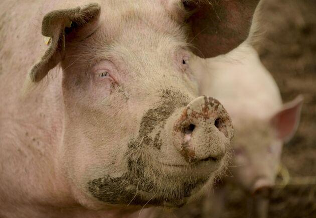 Arkivbild, inte tagen i det aktuella grisstallet.
