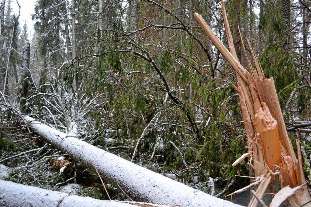 Stormfälld skog efter Alfrida.