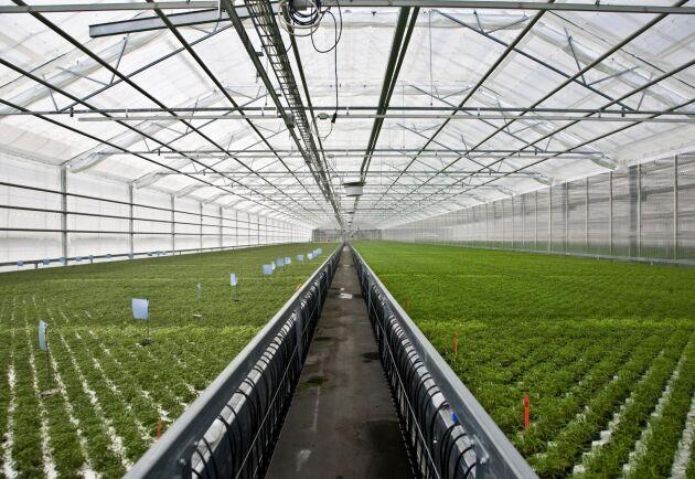 ARKIVBILD. Orto Novo på Ekerö, som odlar kryddor och sallat i kruka, är ett av de företag som hotas av den nya EU-förordningen.