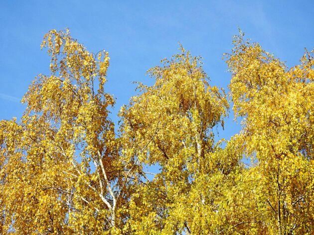 Många björkar och andra lövträd stänger av för i år och går in i vintervila. Nästa år är de pigga igen.