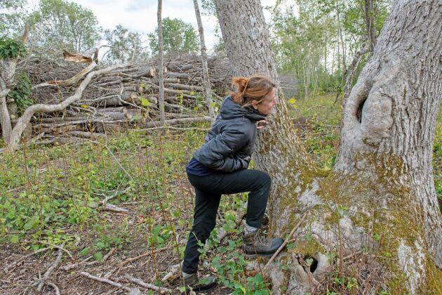 Månghundraåriga askar, som har gott om håligheter där fågel kan häcka, har åter fått fritt spelrum på Fårö. Nyss var marken helt igenväxt.