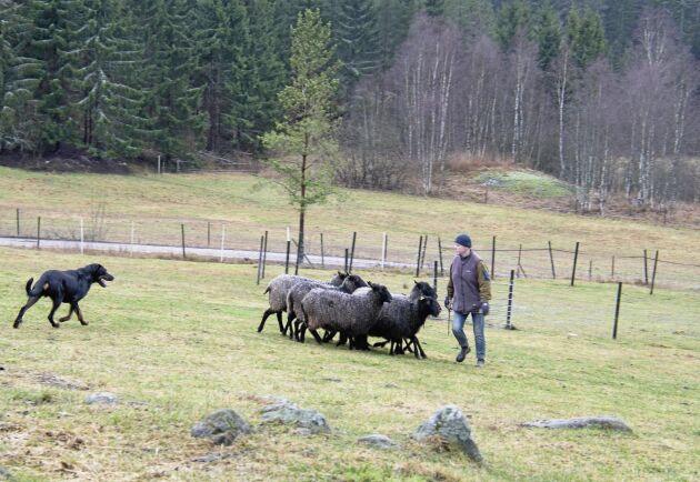 Anrikt arbetssätt. Den kontinentala vallhundens uppgift var att hjälpa herden att flytta fåren, men också att vakta mot rovdjur och främlingar.